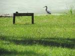 Heron at Andalusia